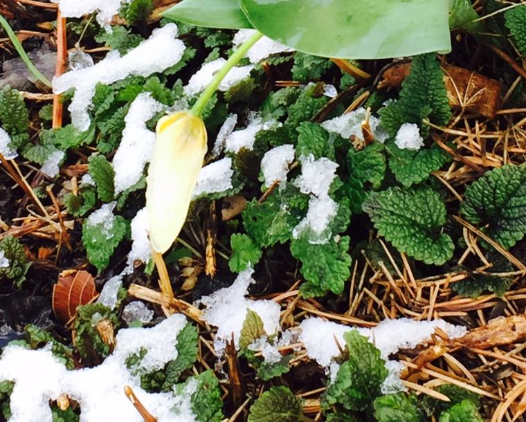 April-Snow-on-Bulb