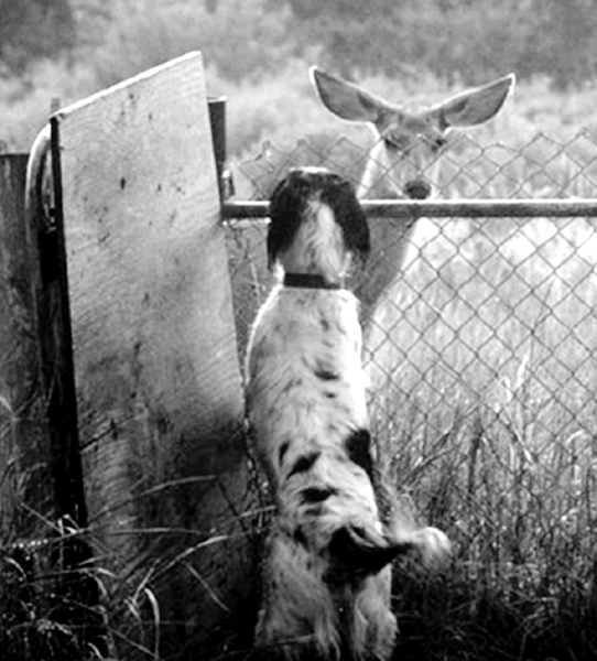 sage and deer at fence