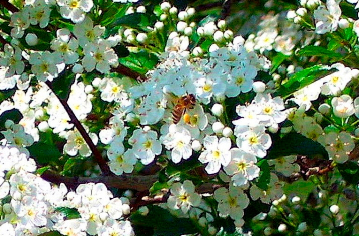 bee on hawthorn flowers