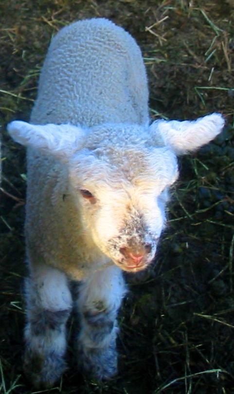 A Spring Lamb